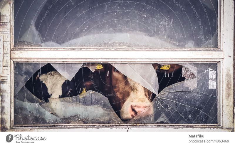 Two cows looking out of barn through broken window pane Barn Cow Calf Window pane Broken agrarian countryside Cowshed Vista Courtyard Animal face Curiosity