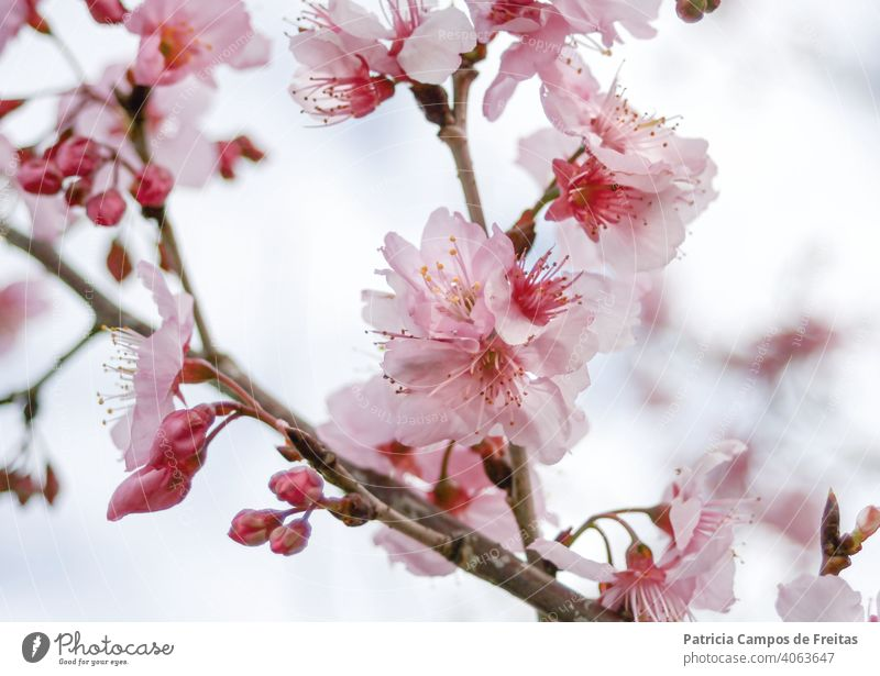 Pink cherry flowers in a branch pile cherry blossom primavera pink flower Seasons Cherry blossom Blossom tender flowers sakura Branch with flowers Brazil frío