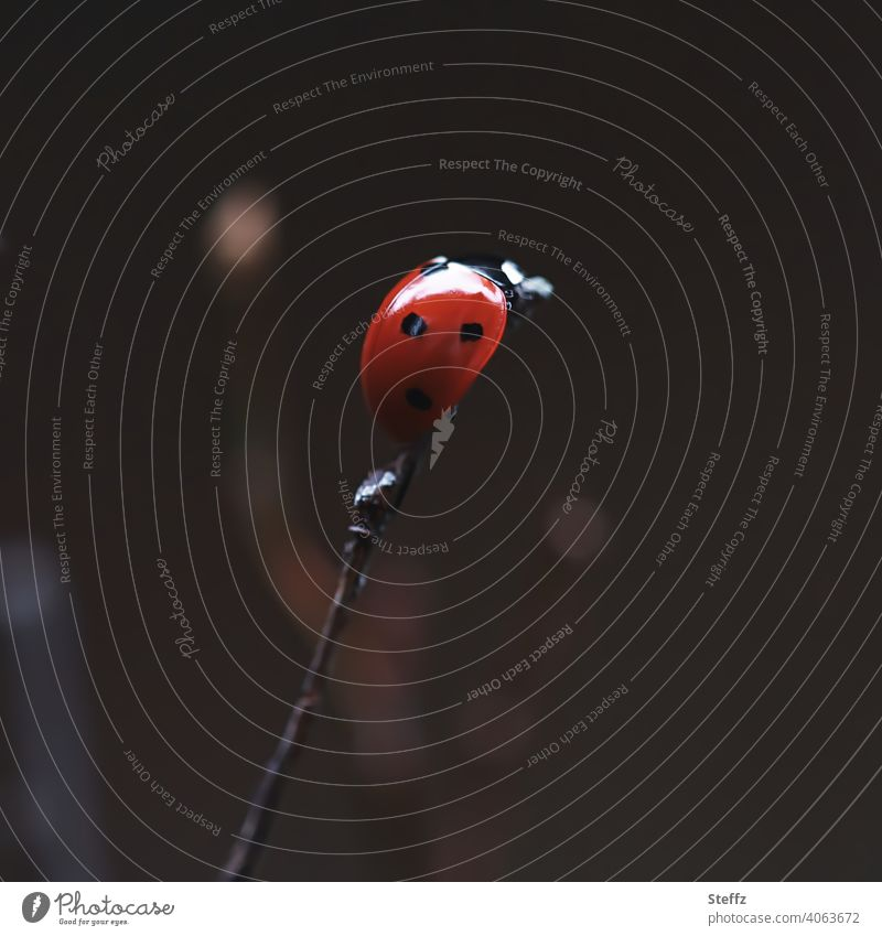 back on top! Ladybird lucky beetle Good luck charm Beetle Happy symbol of luck symbolic bring good luck at the very top be up Above Success successful