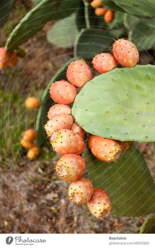 Prickly pears on cactus calorie close colorful culinary diet exotic fig food fresh fruit green health healthy light low natural nature nutrition organic plant