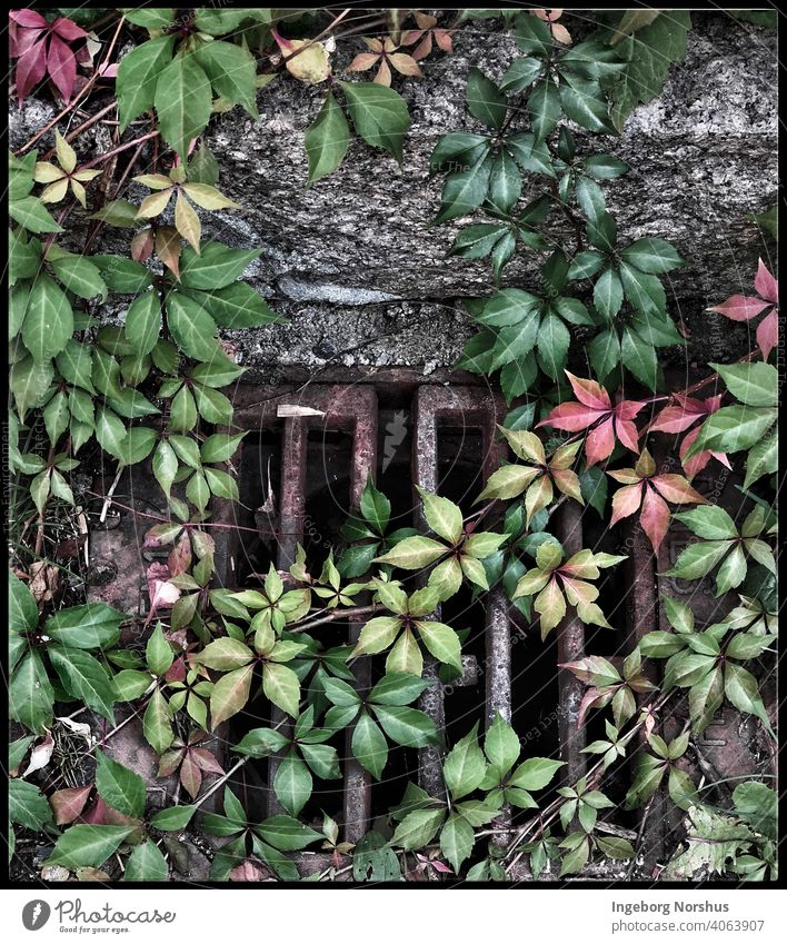 Red and green ivy covering a wall and a metal grid Ivy ivy leaves Nature Plant Exterior shot Green Colour photo Day Leaf Growth Foliage plant Wall (barrier)