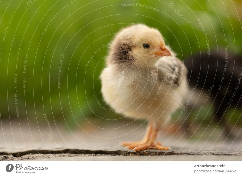 Little yellow chick in nature at easter Baby Spring Grass Chick Life young generation Nature Easter animals Meadow Cute Exterior shot Bird Animal Small Close-up