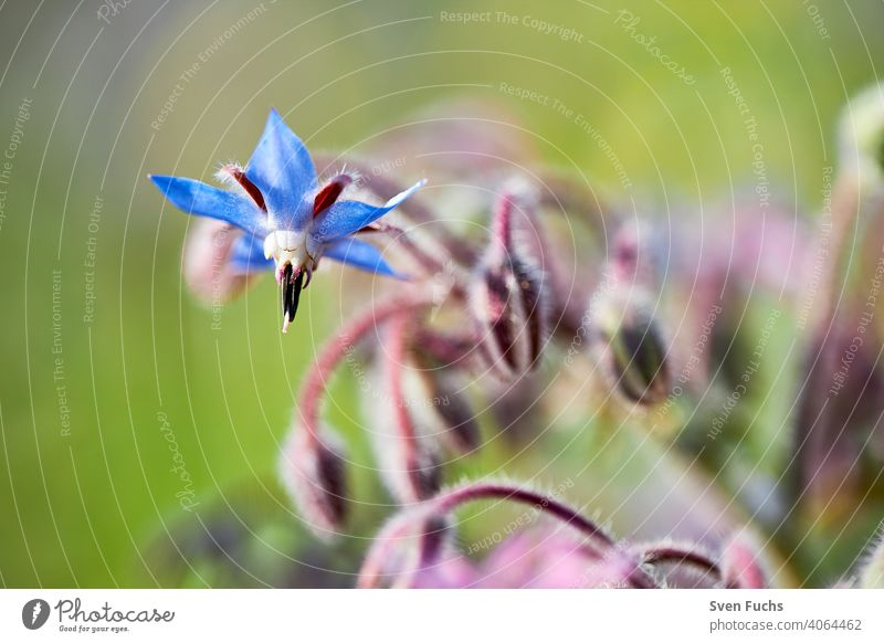 A blue borage (Borago officinalis) involler flower. Next to it others, whose flower is still closed Borage Cucumber herb cukum herb borago officinalis