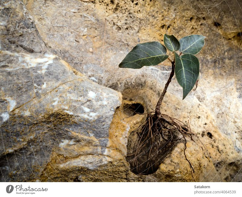 Bodhi fig tree that grows on the rock stone growing growth background nature natural green plant environment outdoor leaf small bodhi tree fresh sacred fig