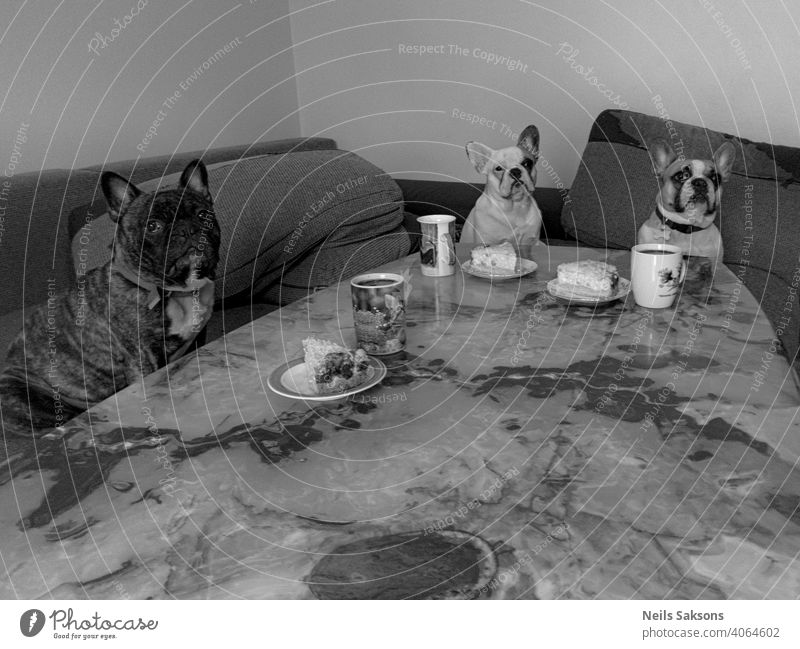 our lunch table french bulldog dinner mug plate humor three cute animal pet observe lunch time cake onyx sitting looking posing indoors obey Colour photo