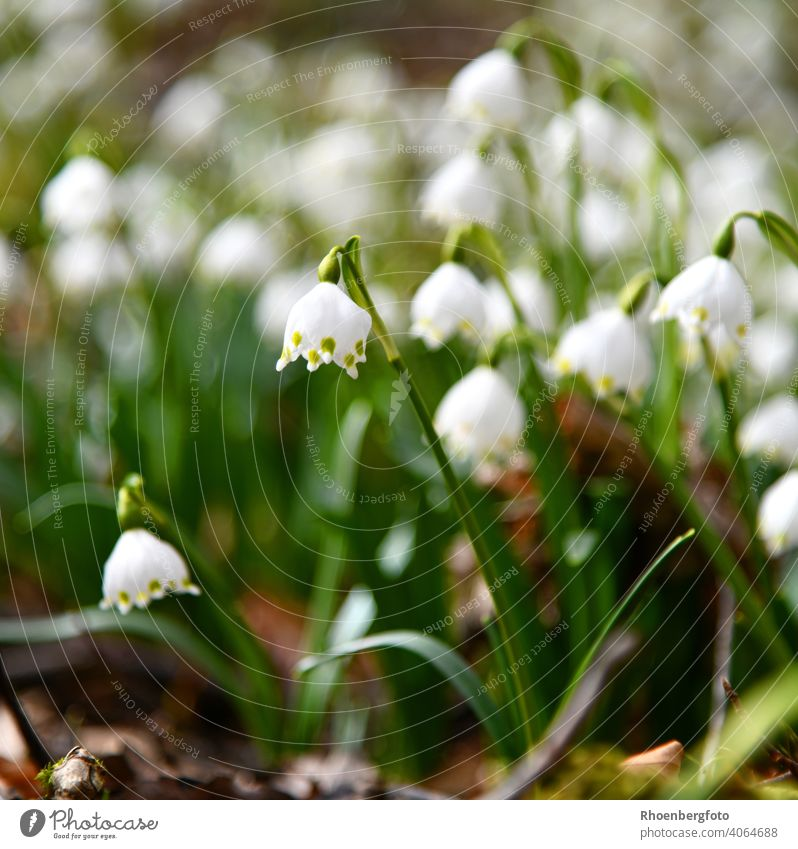 blooming spring knot flowers in a mixed deciduous forest knotweed Flower Spring snowflake Forest Nature Landscape White Ground Woodground Snowdrop