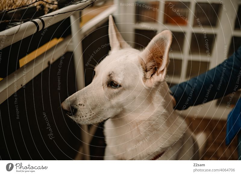 White shepherd dog gets petted Dog Shepherd dog Pet cute Cute Pelt Shallow depth of field Large Snout Colour photo Day Brown Animal face To enjoy Stroke Caress
