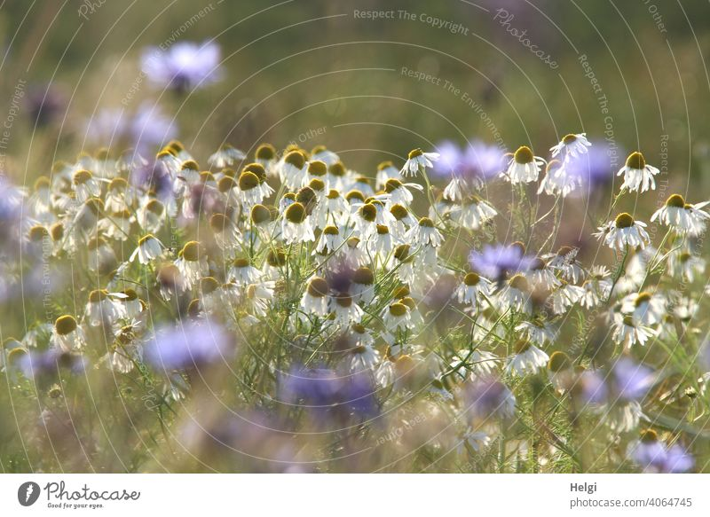 a little bit of summer - camomile blossoms and cornflowers against the light in a cornfield Flower Blossom Chamomile Camomile blossom Cornfield Summer