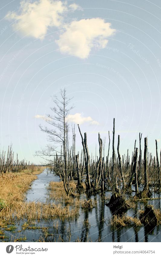 dead trees standing in the water in the moor of Anklam Bog moorland Tree Grass Water reflection Sky Clouds Beautiful weather Mecklenburg-Western Pomerania Marsh