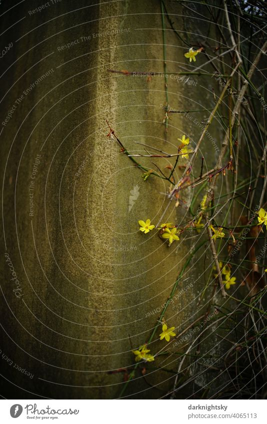 Spring moves in by means of a blooming forsythia Forsythia × intermedia Flower Blossom Wall (building) Wall (barrier) Yellow Ochre Plant Colour photo