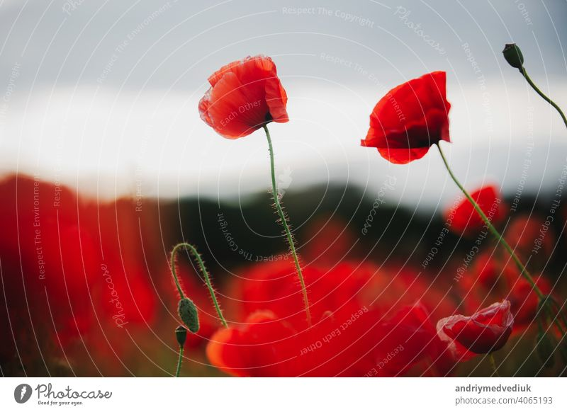 the flowers - a poppy in the field. the dark sky gorgeous background beautiful red summer nature blue beauty black closeup white light colorful spring landscape