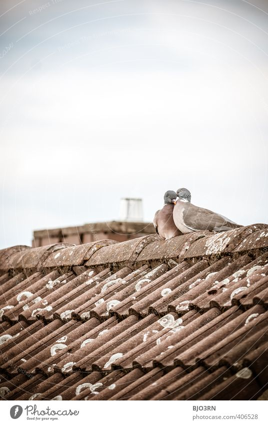 above our heads Sky Clouds Roof Chimney Pigeon 2 Animal Pair of animals Rutting season Touch Love Sit Authentic Together Happy Near Cute Blue Brown Gray White