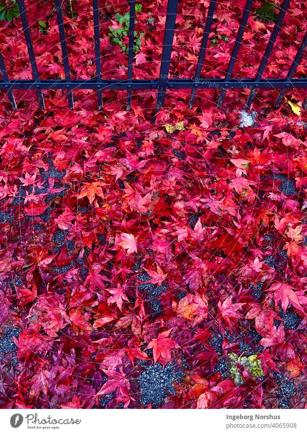 Red leaves in front of black fence Autumn leaves Autumnal colours Leaf foliage Colour photo autumn mood Exterior shot fall Seasons Multicoloured red leaves Day