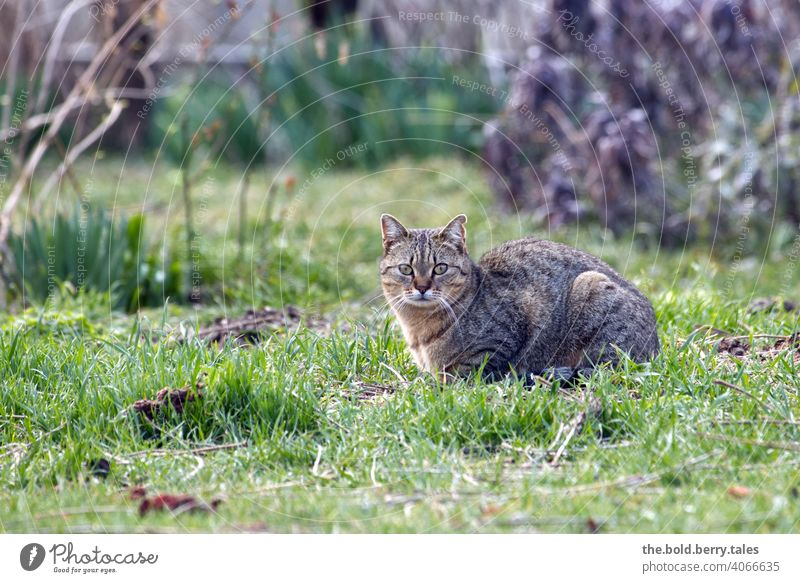 Tabby cat lying in grass with bushes in background Cat Pelt Animal Domestic cat Pet Observe Watchfulness reclining Grass Colour photo Garden Exterior shot
