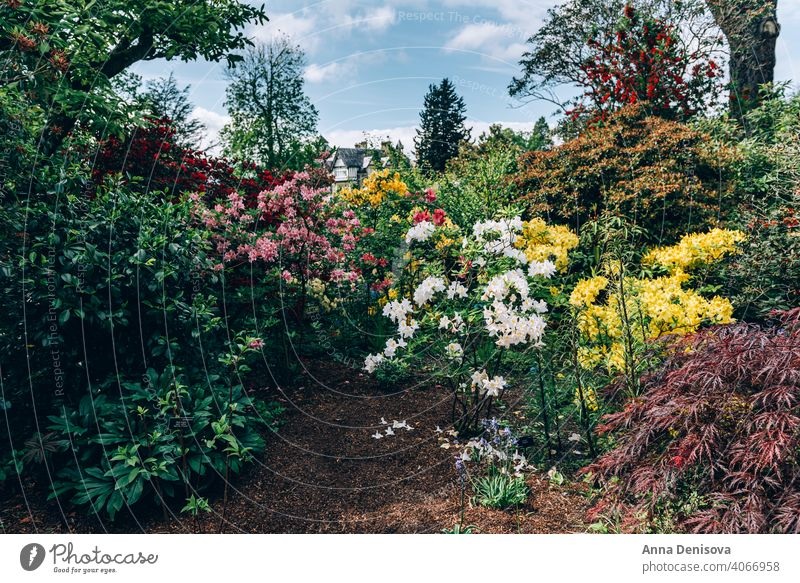 Beautiful Garden with blooming trees during spring time park garden bondant wales laburnum arch springtime rhododendron plant flower cunningham nature