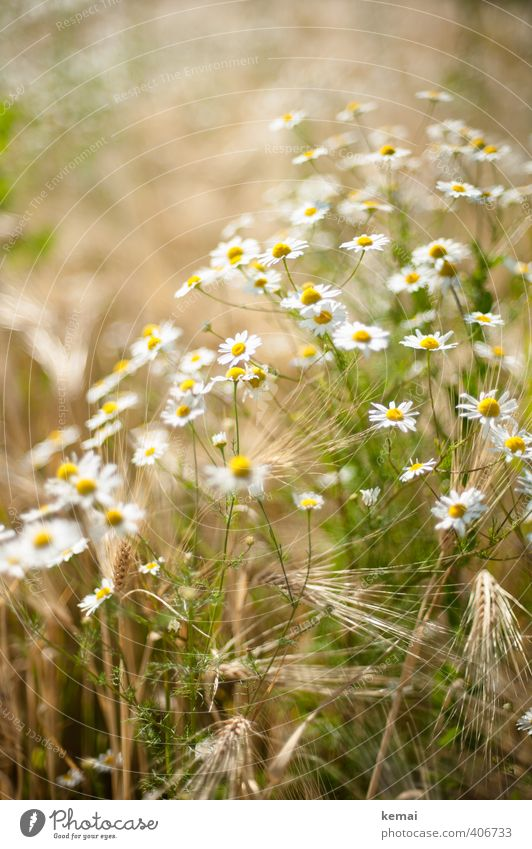 In the field, in summer Environment Nature Plant Sunlight Summer Beautiful weather Flower Blossom Agricultural crop Barley Field Camomile blossom Chamomile