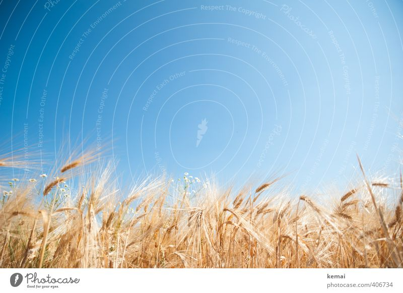 fields of gold Environment Nature Cloudless sky Sunlight Summer Beautiful weather Warmth Plant Agricultural crop Barley Barleyfield brewer's barley Field Growth