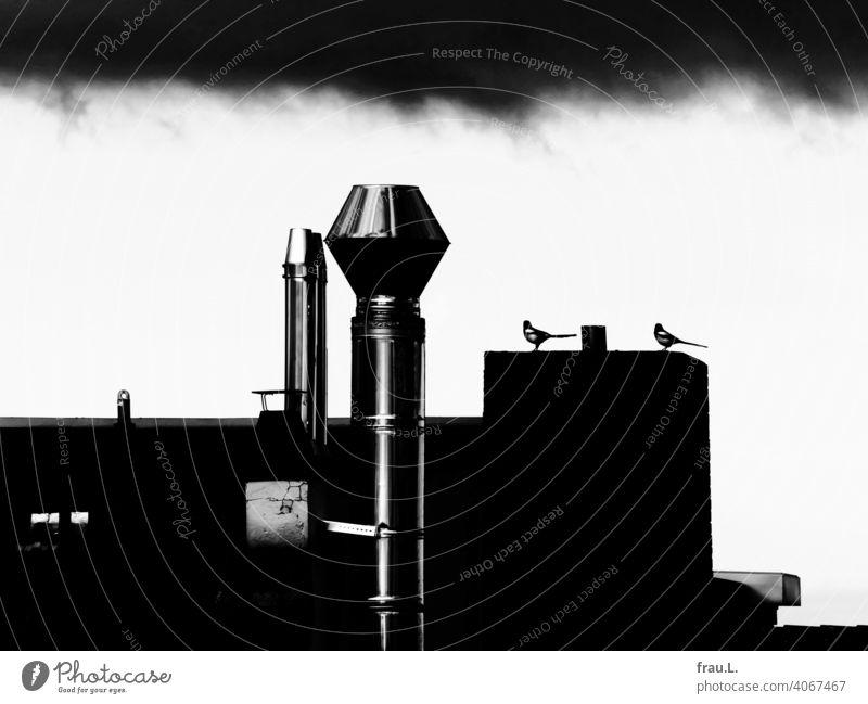Backyard Magpies intelligent Smart Roof Animal Bird Wild bird Raven Bird Sky roofs Raincloud Chimney monogamous Couple