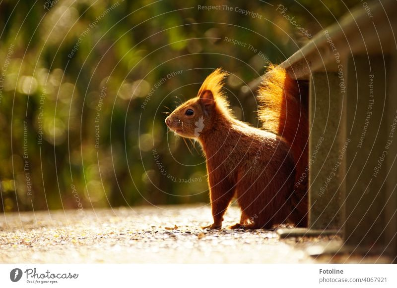 Is this squirrel greedy for the next nut or just curious? Exterior shot Wild animal Colour photo Animal Deserted Freedom Environment naturally Day