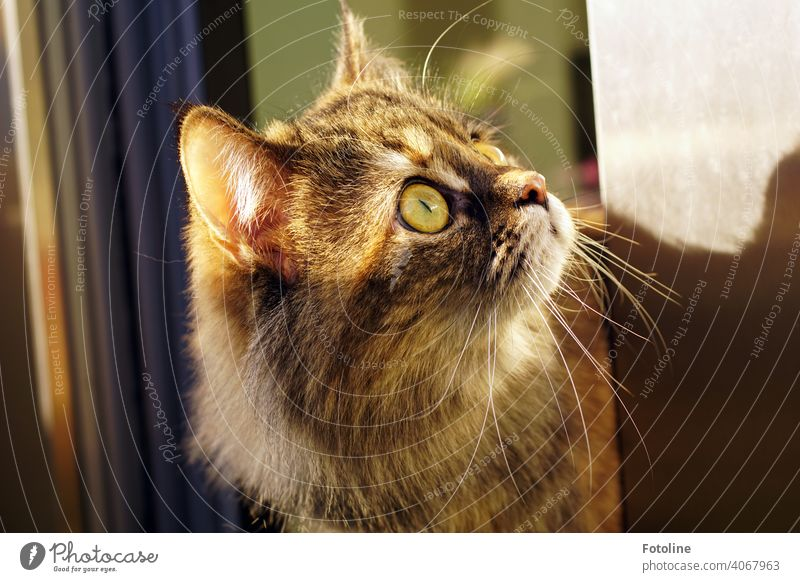 This Maine Coon cat is curiosity personified. Something has caught her attention. She has it firmly in her sights. Cat Pelt Animal Pet Domestic cat Paw Mammal