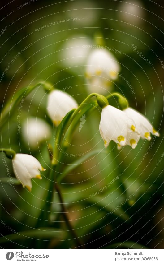 Beautiful marchflower in the forest as a closeup similar leucojum vernum rare bell white flowers protected lovely early snowbell surround blur bokeh leukojum