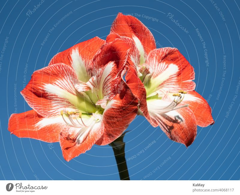 Close up of two red and white flowers of amaryllis Amaryllis Blossom inflorescence blossoms Close-up close-up Red White Blue exempt Winter Horizontal Plant