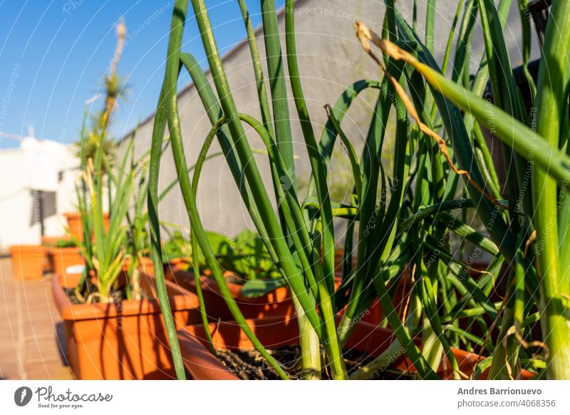 View of an urban garden in plastic pots with chives and garlic in the foreground. Selective focus free time grow your own season gardener vegetables