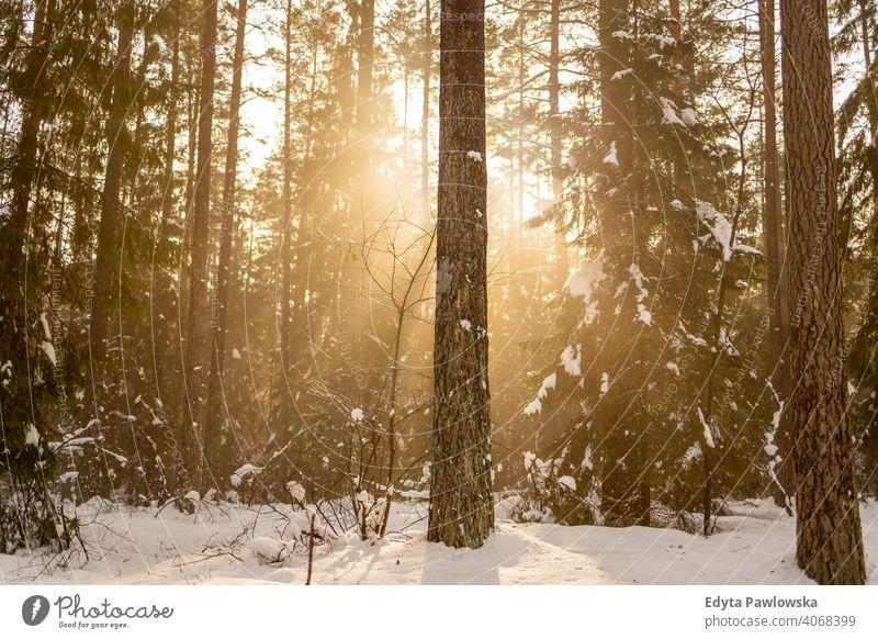 Sun shines through snowcapped winter forest woodland sunshine nobody sunny sunbeam scenery snowscape sunlight frozen scenic branch december spruce frosty beauty