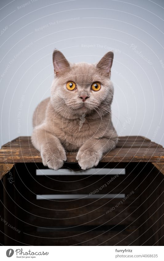 lilac british shorthair kitten resting on wooden crate looking curiously cat pets purebred cat british shorthair cat fluffy fur feline 6 month old young cat