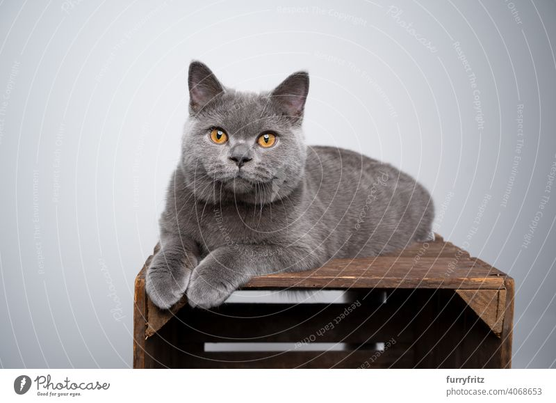 blue british shorthair kitten lying on wooden crate looking at camera cat pets purebred cat british shorthair cat fluffy fur feline 6 month old young cat gray