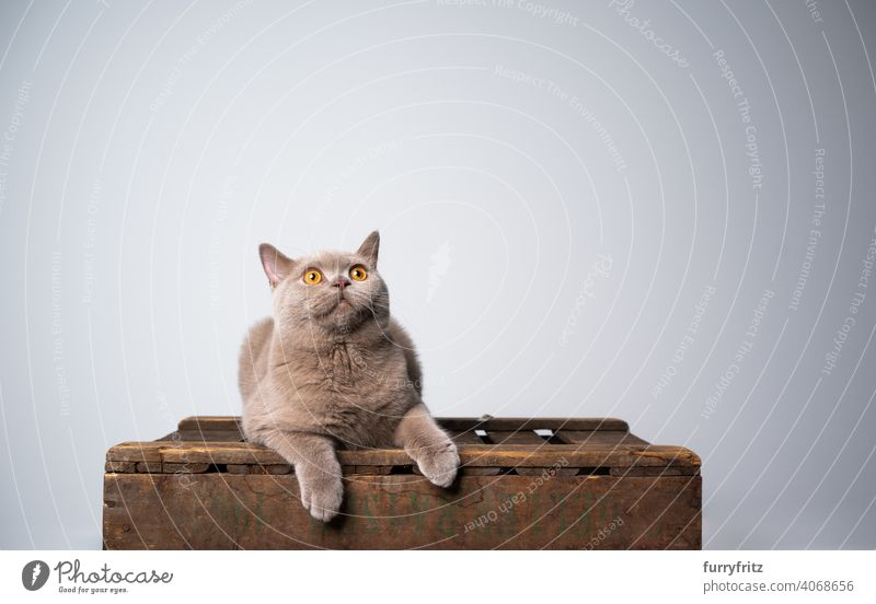curious british shorthair kitten on wooden crate looking up at copy space cat pets purebred cat british shorthair cat fluffy fur feline 6 month old young cat