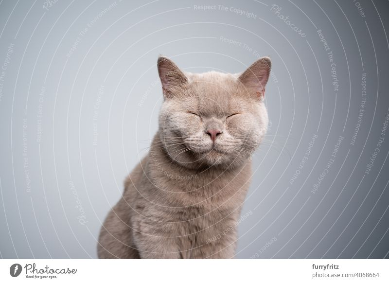 british shorthair kitten with eyes closed on gray background with copy space cat pets purebred cat british shorthair cat fluffy fur feline 6 month old young cat