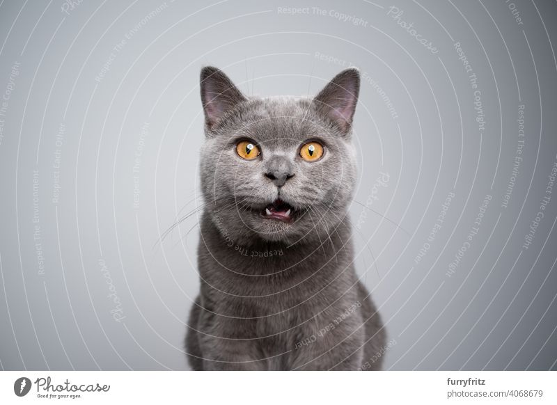 british shorthair kitten looking at camera shocked or surprised cat pets purebred cat british shorthair cat fluffy fur feline 6 month old young cat blue gray
