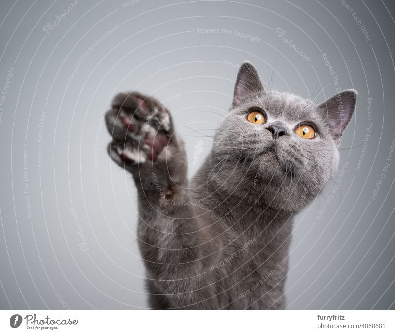 curious british shorthair kitten raising paw reaching for treats cat pets purebred cat british shorthair cat fluffy fur feline 6 month old young cat blue gray