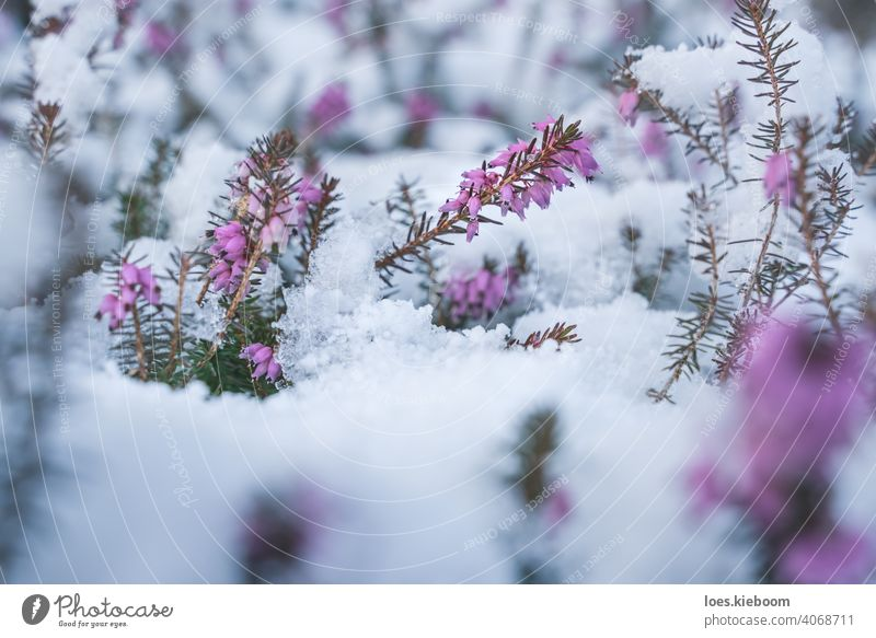 Springtime meeting winter, spring heath covered by fresh snow, Austria blossom springtime battle erica frost purple flower season crystals erica carnea ice pink