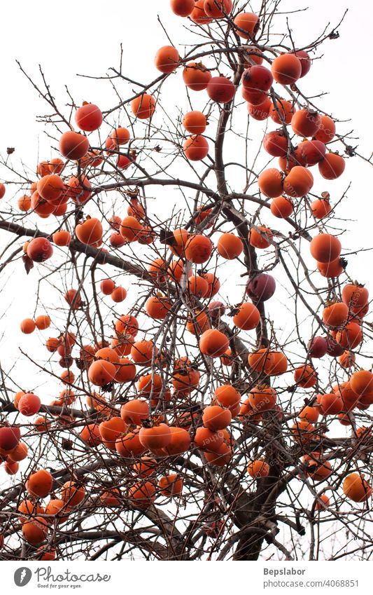 Persimmons on the tree autumn plant branch caki calorie colorful culinary diet food fresh fruit health healthy juice natural nature nutrition orange organic raw
