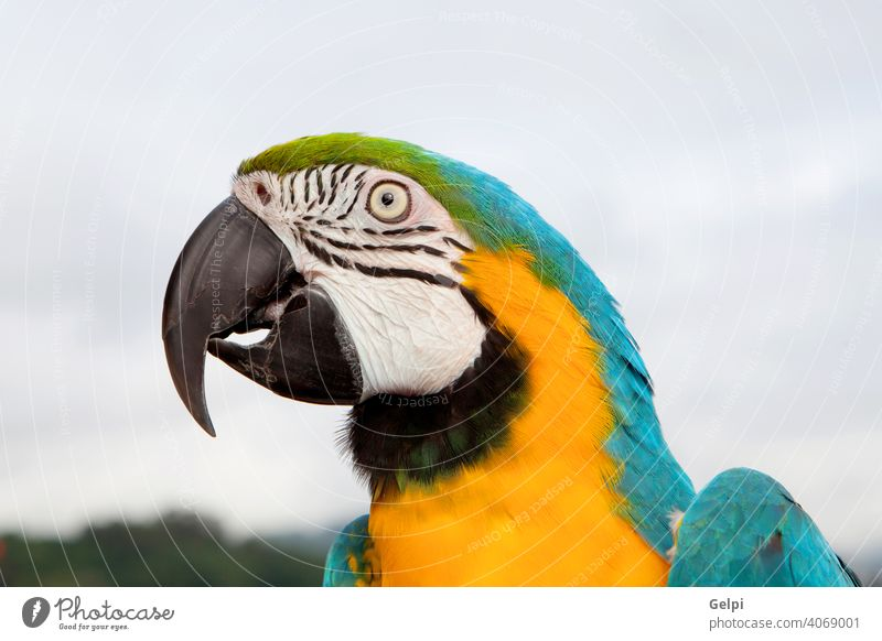 Blue and yellow parrot macaw bird pet beak blue animal colorful wildlife beautiful isolated tropical nature cute one green feathers natural white background