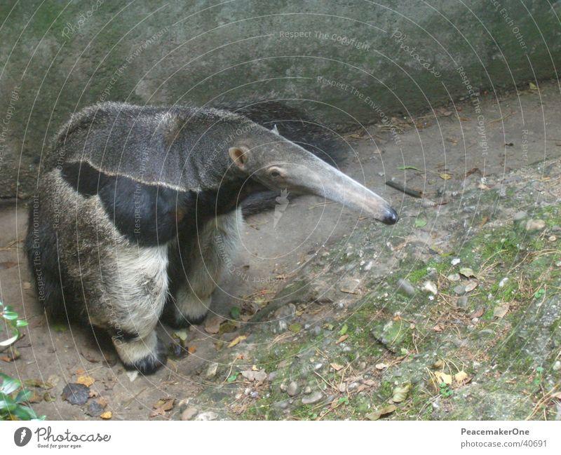 Nature Animal Elephant Bear Ant Trunk Ant-eater