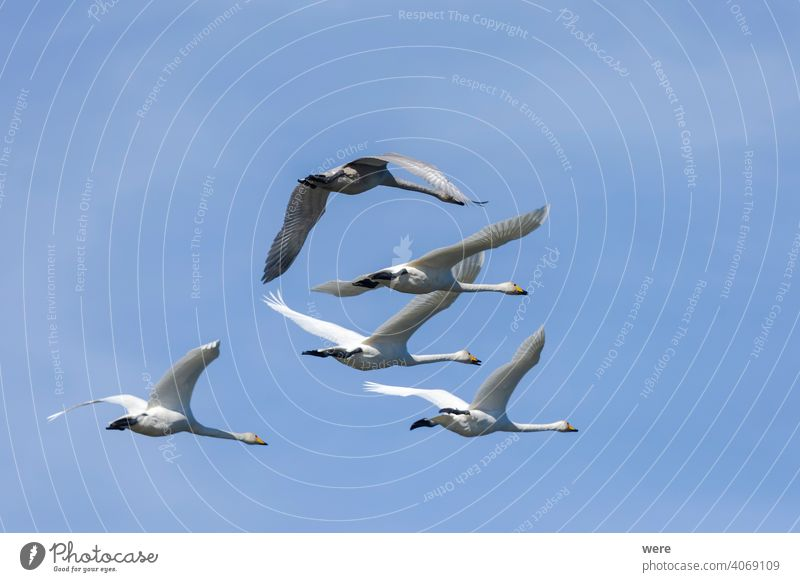 Whooper swans fly in blue sky Flock of birds Formation animal bird migration common swan copy space feathers fly  blue sky formation flight free magnificent