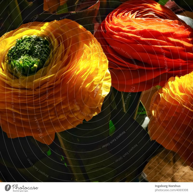 Ranunculus in sunlight Flower spring Floral Copy Space Bouquet Colour pretty decor Sunlight Light and shadow Yellow Orange-red Close-up closeup