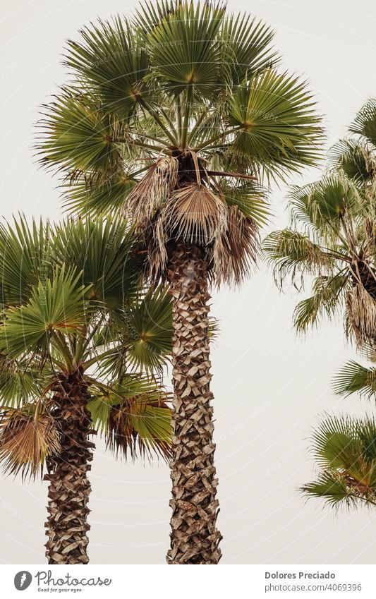 photo of tall palm trees on the spanish costa brava Environment green Nature Vacation & Travel Exterior shot Palm tree Exotic Plant Day Beautiful weather