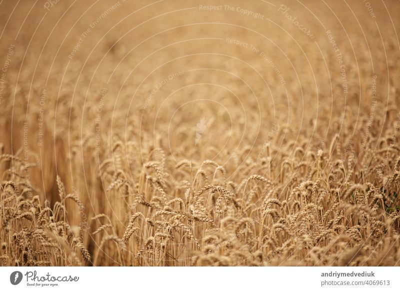 Rural scenery. Background of ripening ears of wheat field and sunlight. Crops field. Selective focus. Field landscape. ready harvest corn golden grain yellow