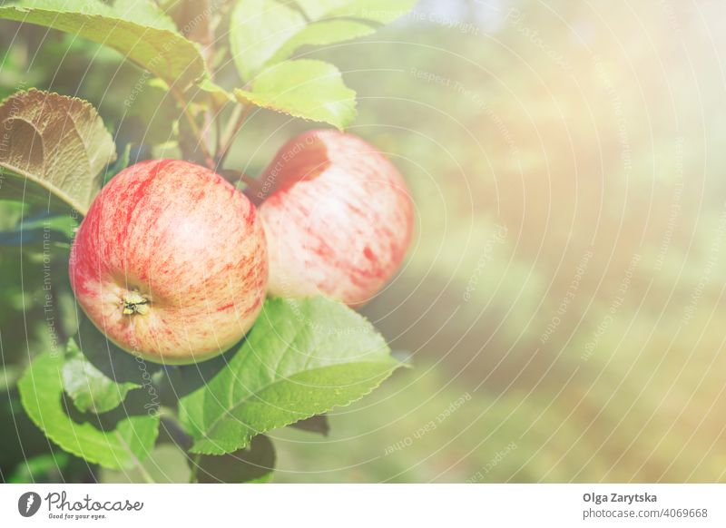 Two red apples on a branch in sunlight. tree farm autumn color delicious fall food fresh fruit harvest leaf natural nature organic outdoor plant ripe season
