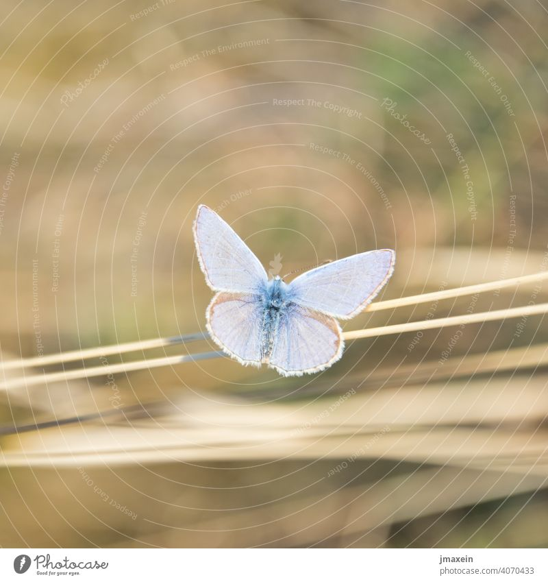 blue Butterfly Summer Spring Sun Straw Blade of grass Meadow Nature Animal Grand piano Insect nature conservation