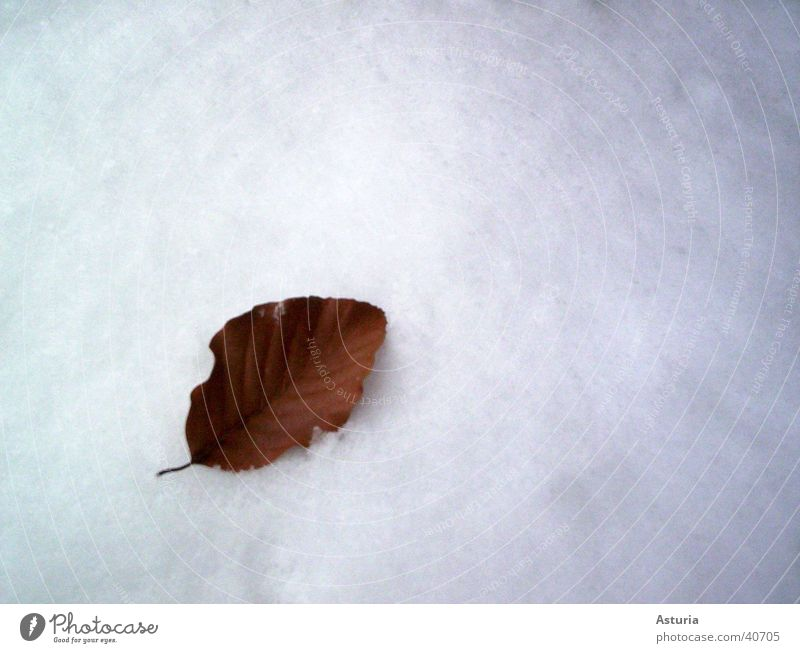 snow leaf Leaf Winter White Cold Pure Snow Bright Snow layer Bright background Isolated Image Copy Space top Copy Space right Individual 1 Isolated (Position)