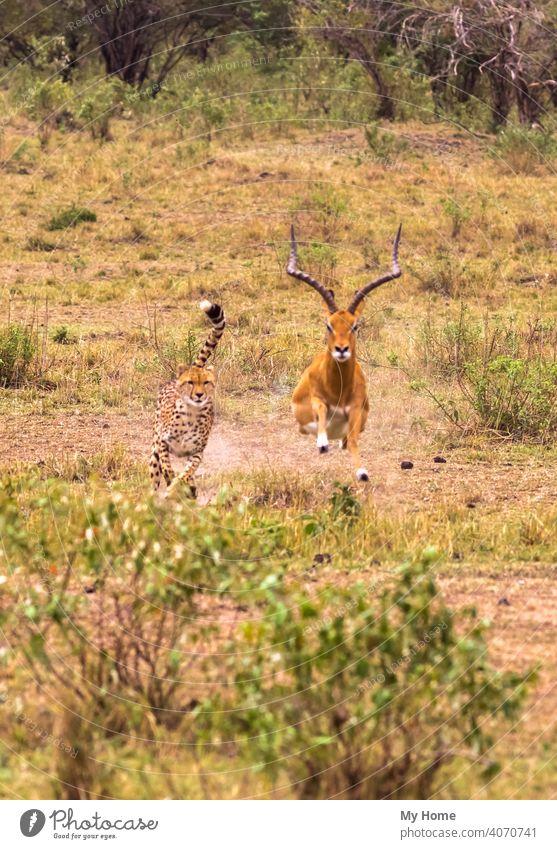 Photo series: Cheetah hunting for big Impala. Masai Mara, Kenya Africa african animal animals antelope beast beasts beautiful brown carnivore cat cats chasing