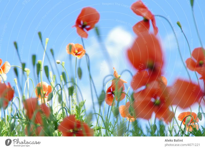 Poppies against blue sky poppies Poppy Field Nature Flower Red Blossom Exterior shot Meadow Deserted Landscape Spring Sunlight Wild plant pretty