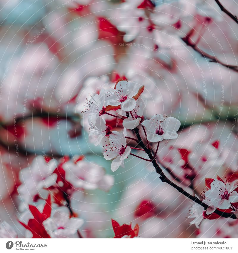 beautiful cherry blossom flower, sakura flower cherry tree sakura tree pink petals floral nature natural decorative decoration romantic beauty fragility