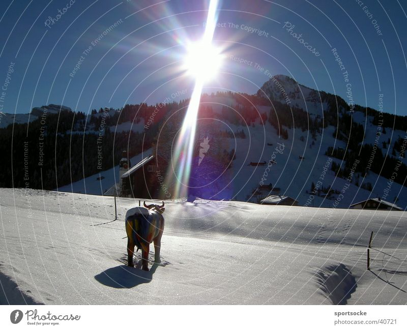 Sun Winter Snow Mountain Lighting Cow Cattle