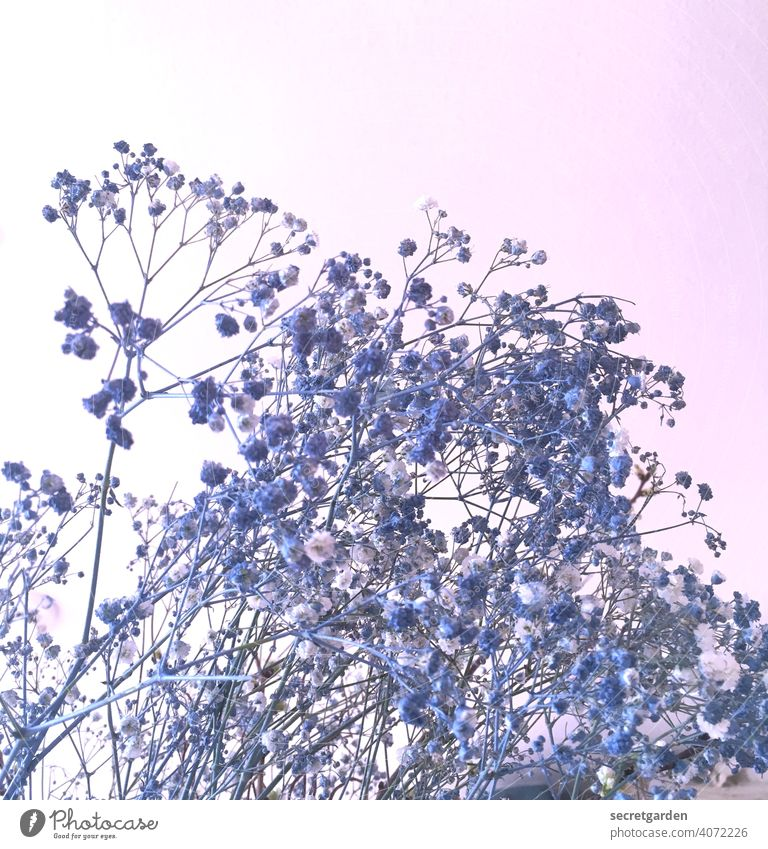 why they're blue is beyond me... Baby's-breath Bouquet Flower Nature Interior shot Blue Pink Blossom Plant Decoration White Colour photo Studio shot Delicate
